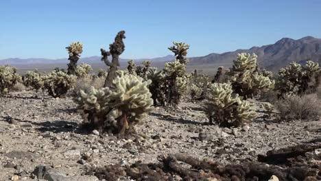 Parque-Nacional-Joshua-Tree-De-California-Zoom-En-Cholla