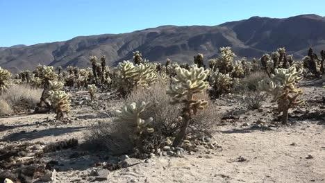 California-Joshua-árbol-Cholla-Cactus-Masa