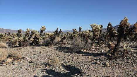 California-Joshua-Tree-Se-Acerca-Al-Cactus-Cholla
