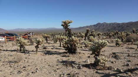California-Joshua-Tree-Se-Acerca-Al-Parche-De-Cholla