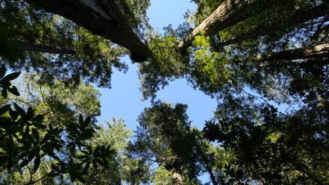 California-Redwood-National-Park-Lady-Bird-Johnson-Grove-Tree-Tops-Tilt-And-Zoom