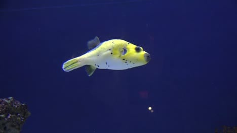 Cute-Yellow-Puffer-Fish-Swimming