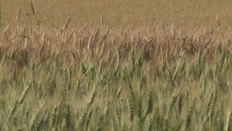 Oregon-Wheat-In-Field-Panoregon