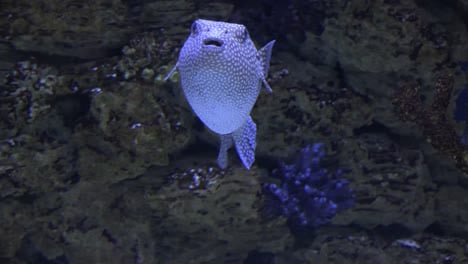 Spotted-Puffer-Fish-Swimming