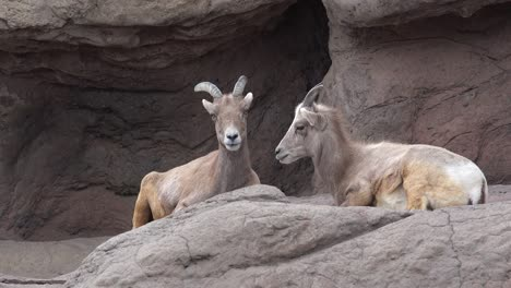 Two-Female-Big-Horn-Sheep