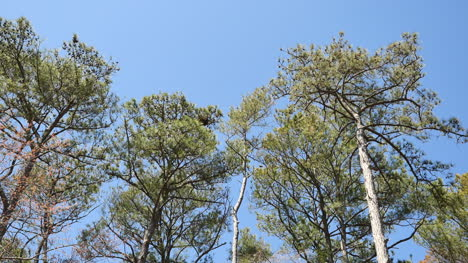 Virginia-Pine-Trees-And-Blue-Sky