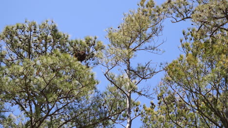 Virginia-Pine-Trees-In-Wind