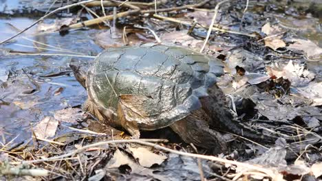 Virginia-Snapping-Turtle-Enters-Water