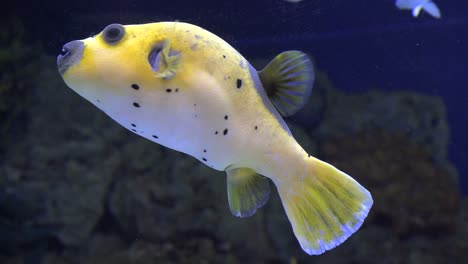 Yellow-Puffer-Fish-Swimming