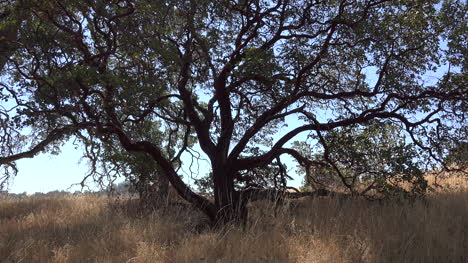 California-Oak-Tree-In-Grassland