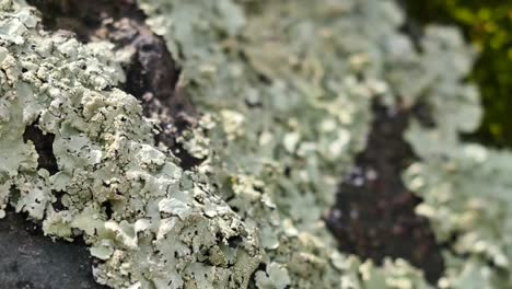 Nature-Lichen-Comes-Into-Focus-Pan