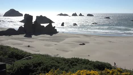 Oregon-Bandon-Yellow-Flowers-Above-Beach-Pan-And-Zoom