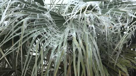 Texas-Alpine-Icy-Palm-Branches-Zoom-In