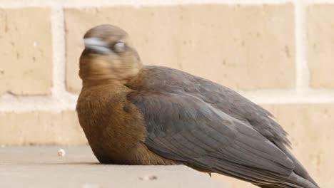 Pájaro-De-Texas-Sentado-Y-Mirando-A-Su-Alrededor-En-La-Barandilla