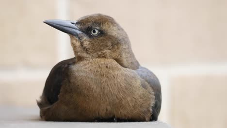 Pájaro-De-Texas-Sentado-En-La-Baranda