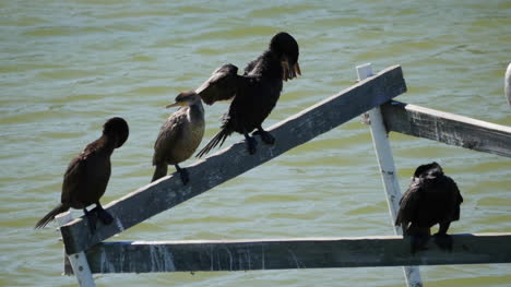Texas-Cormorants-On-A-Perch