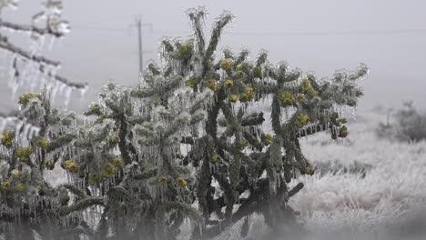 Cactus-Cubierto-De-Hielo-De-Texas
