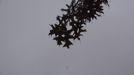 Texas-Ice-Oak-Leaves-Zooms-In