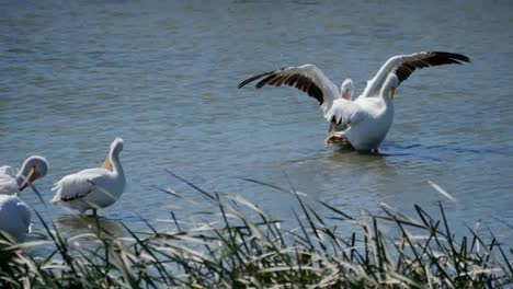 Texas-Pelicans-Flapping-Wings