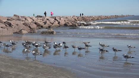 Texas-Sea-Gulls-By-Port-Aransas-Jetty