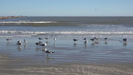 Texas-Sea-Gulls-Standing-By-Waves