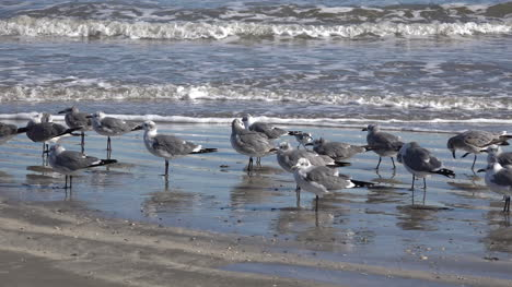 Texas-Sea-Gulls-With-Zoom-To-Jetty