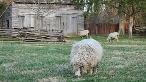 Virginia-Colonial-Williamsburg-Sheep-Grazing