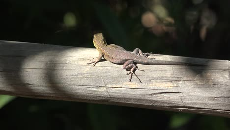 Chile-Lizard-Runs