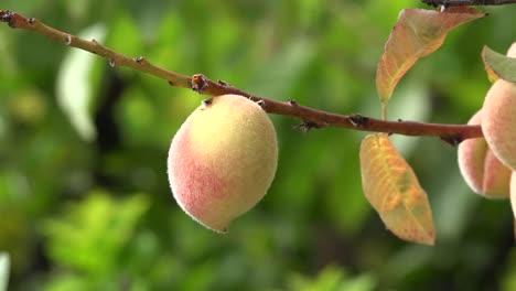 Chile-Peach-On-A-Twig