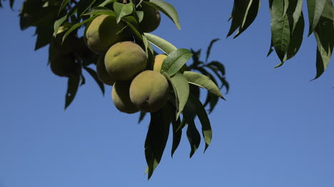 Chile-Peaches-And-Blue-Sky