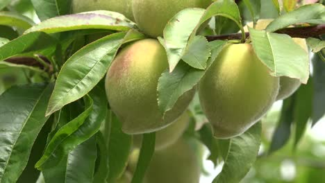 Chile-Peaches-On-Tree