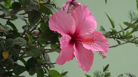 Chile-Pink-Hibiscus-Close-Up
