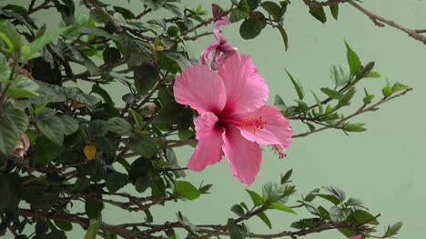 Chile-Pink-Hibiscus
