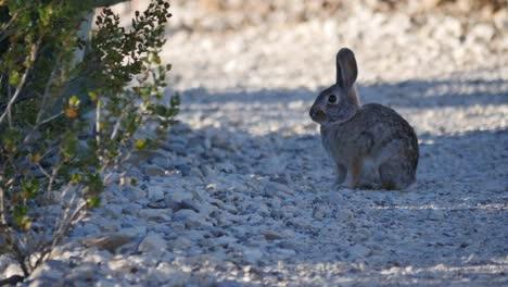 Texas-Big-Bend-Bunny-Rabbit-On-Path