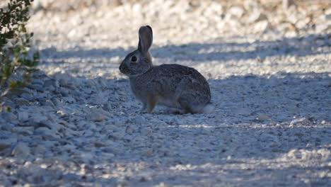 Texas-Big-Bend-Rabbit-Hops
