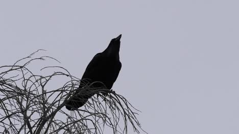 Texas-Big-Bend-Raven-On-Tree-Caws-Loudly-Sound
