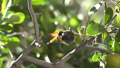 Texas-Big-Bend-Wasp-Crawling-On-Fruit