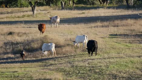 Texas-Hill-Country-Longhorns