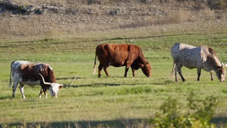 Texas-Longhorn-Cattle-Grazing