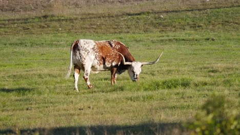 Texas-Red-And-White-Longhorn-Cow-Grazing-And-Lifts-Head