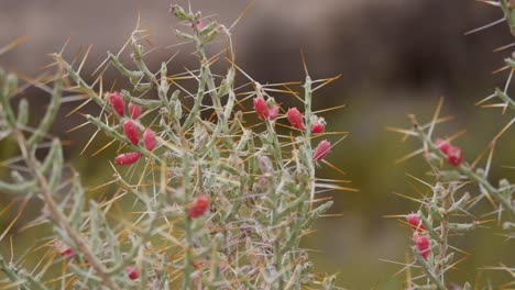Texas-Red-Pods-On-Cactus