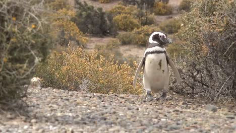 Argentina-Magellanic-Penguin-Turns-Past-Shrub-Zooms-In