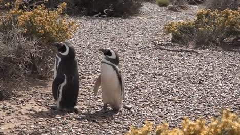 Argentina-Zooms-On-Two-Penguins