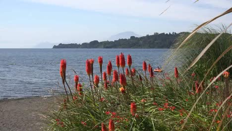 Chile-Hot-Poker-Flowers-And-Lake-View