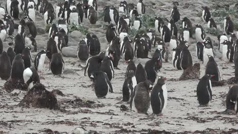 Grupo-De-Pingüinos-De-Las-Malvinas-Zoom