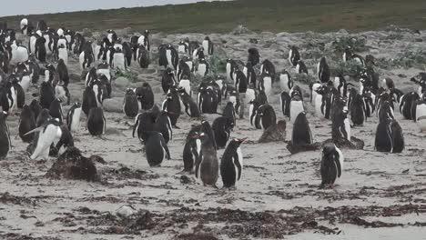 Falklands-Pans-Running-Penguin
