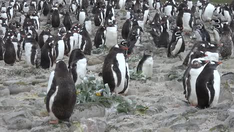 Malvinas-Zooms-Y-Sartenes-De-La-Bandada-De-Pingüinos