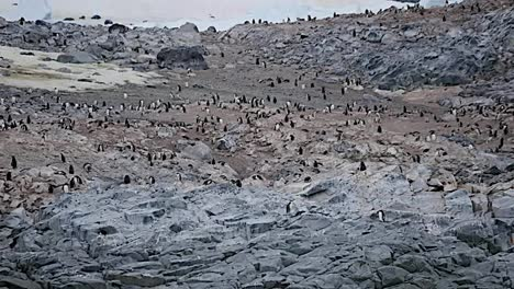 Antarctica-Many-Penguins-On-Rocks
