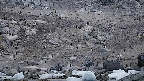 Antarctica-Penguins-With-Boulders-On-Shore