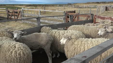 Argentina-Patagonia-Sheep-In-A-Pen